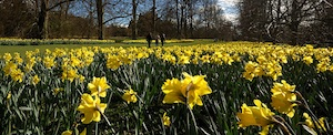 Daffodils in Nowton Park by Andrew Stawarz